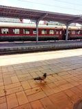 孤独的鸽子 免版税图库摄影