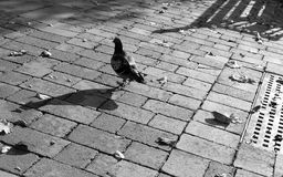 孤独的鸽子 图库摄影