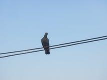 孤独的鸽子 库存照片