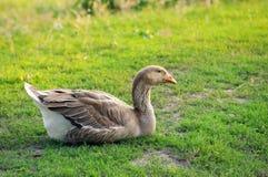 孤独的鹅有绿草的一基于 免版税库存照片