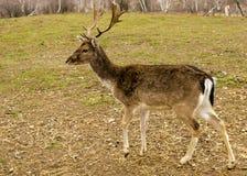 孤独的鹿 免版税库存照片
