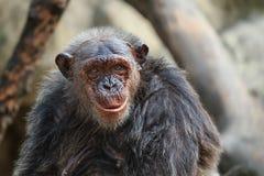 孤独的猴子在热带森林里 库存照片