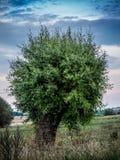 孤独的结构树杨柳 免版税库存照片