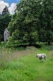 孤独的绵羊在苏格兰 库存图片