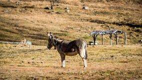 孤独的驴 免版税库存照片