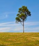 孤立产树胶之树 免版税库存照片