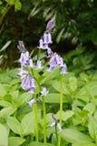 孤立会开蓝色钟形花的草在森林地 免版税库存图片