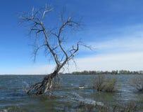 孤立光秃的树在湖水中 免版税库存照片