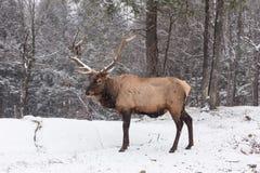 孤立公马鹿在一个多雪的森林里 免版税库存图片