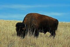 孤立北美野牛水牛城公牛在Custer国家公园 免版税库存图片