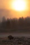 孤立北美野牛 库存照片