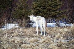 孤立北美驯鹿在格洛斯Morne公园 免版税库存图片