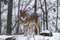 孤立土狼在冬天 免版税库存照片