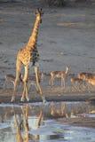 孤立在一个池塘的长颈鹿饮用水黄昏的 库存图片