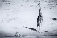孤立在一个池塘的长颈鹿饮用水黄昏的 免版税库存图片