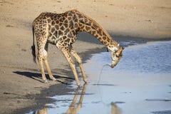孤立在一个池塘的长颈鹿饮用水黄昏的 免版税库存照片