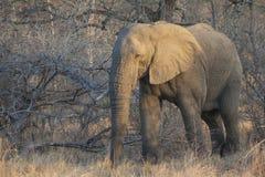 孤立大象公牛 免版税图库摄影