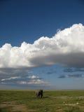 孤立大象 库存照片