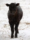 孤立小牛通过雪风暴深深地凝视 免版税库存图片