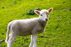 孤立小的羊羔 免版税库存照片