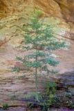 孤立杉木和岩石墙壁 免版税库存照片