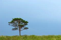 孤立杉木天空风暴 库存图片