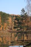 孤立杉木 库存图片