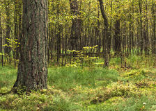 孤立杉木 免版税库存照片