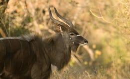 孤立林羚 库存图片