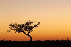孤立树剪影,橙色日落,澳大利亚 免版税库存图片
