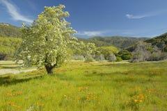 孤立树和春天花五颜六色的花束开花在壳小河路的路线58的,在加州的倍克斯城西部 免版税库存图片