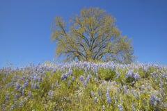 孤立树和春天花和紫色羽扇豆五颜六色的花束开花在壳小河路的路线58的,在Bakersfiel西部 免版税库存图片