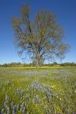孤立树和春天花和紫色羽扇豆五颜六色的花束开花在壳小河路的路线58的,在Bakersfiel西部 免版税库存照片