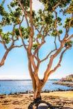 孤立树在圣地亚哥 免版税库存照片