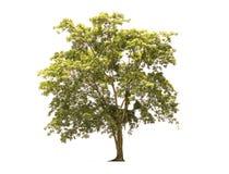 孤立树 免版税库存照片