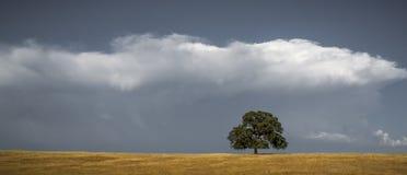 孤立橡树和云彩 库存图片