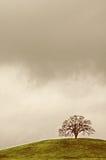 孤立橡树 免版税库存图片