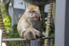 孤立母猴子长尾的短尾猿在马来西亚,亚洲 免版税库存图片