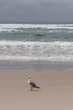 孤立海鸥 免版税库存图片