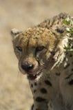 孤立猎豹的杀害 库存照片