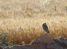 孤立猫头鹰在领域在阳光下 免版税库存照片