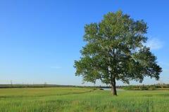 孤立白杨树 库存图片