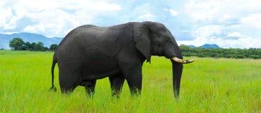 孤立的大象 免版税库存照片