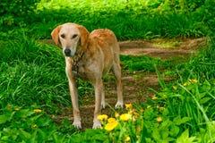 孤立的狗 库存图片