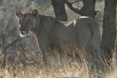 孤立的雌狮 免版税库存照片