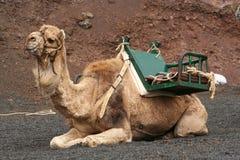 孤立的骆驼 免版税库存图片
