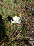 孤立矮小的白花 库存照片