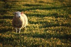 孤立绵羊 库存照片