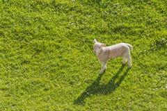 孤立羊羔 免版税库存图片