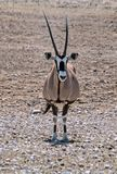 孤立羚羊属在沙漠在Etosha国家公园,纳米比亚 免版税库存照片